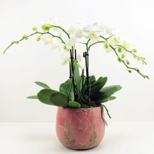 White Orchid in Pink Pot