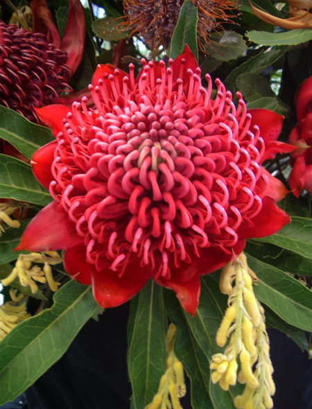 Waratah Flowers - Flowers for Everyone
