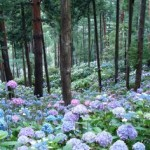 A hydrangea forest in Japan. Simply, wow! Send flowers to Australia.