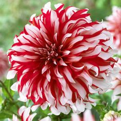 The `Santa Claus` dahlia in red and white is paired beautifully with a summer berry Aussie pavlova for Christmas... Online flowers. Online florist. Send flowers online. Same day flower delivery. Florist.