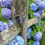 Scrumptious blue hydrangea growing over a country fence
