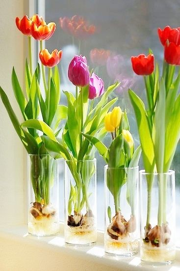 Tulips grown in glass vases