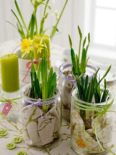 Daffodils growing in jars