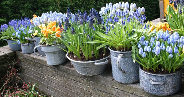 Flowering pots of spring bulbs