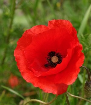 Lest we forget anzac floral traditions flowers for everyone poppy grew profusely in the trenches and craters of the war zone and also flowers in turkey in early spring as it did in april 1915 when the anzacs mightylinksfo