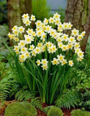 cluster of jonquils