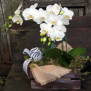 phalaenopsis orchid plant gift