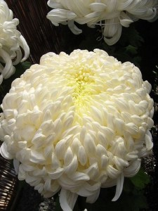 chrysanthemum 3