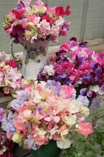 old fashioned sweet peas