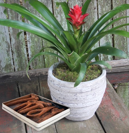 bromeliad plant and chocolates