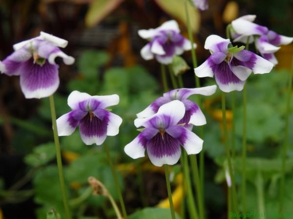 Viola-hederacea-Native-Violet-1013