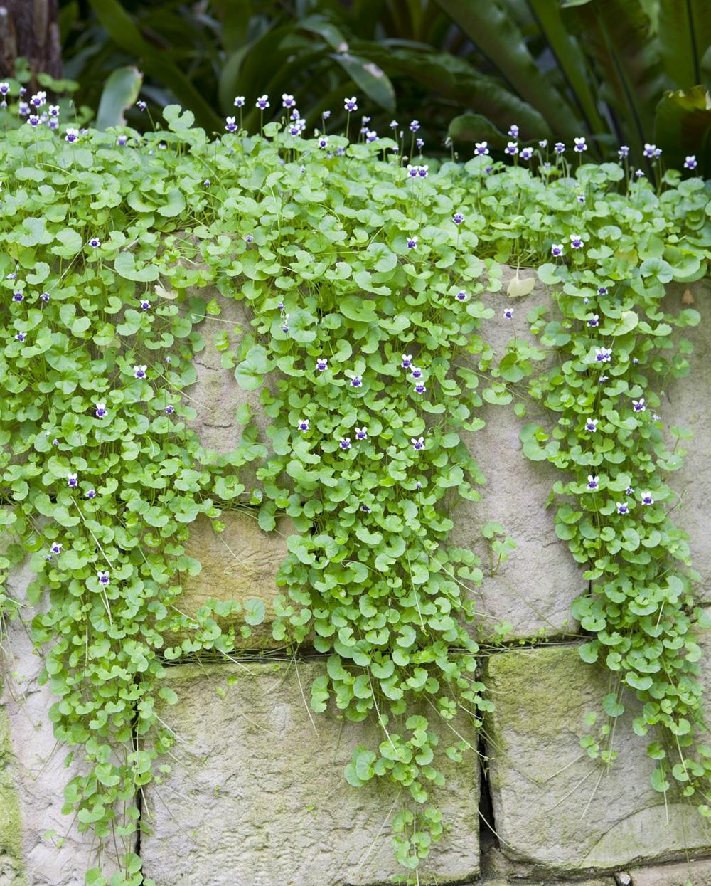 Viola-hederaceae-spillover